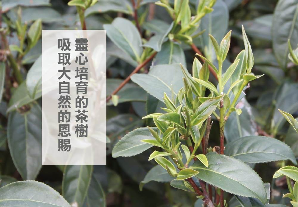 阿里山茶園得天獨厚的阿里山高山氣後與風土環境,造就出好喝的阿里山烏龍茶包